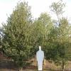 Ilex aquifolium 'Pyramidalis'