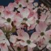 Cornus florida 'Rubra'