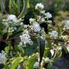 Heptacodium jasminioides