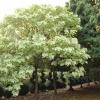 Catalpa speciosa 'Pulverulenta'