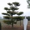 Fagus sylvatica 'Asplenifolia'