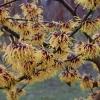 Hamamelis intermedia 'Orange Beauty'