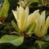 Magnolia fraserii 'Goldstar'