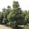 Ilex altaclerensis 'Camellifolia'