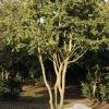 Buxus sempervirens 'Rotundifolia'