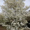 Cornus florida 'White Cloud'