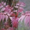 Toona sinensis 'Flamingo'