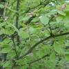 Acer carpinifolia