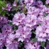 Rhododendron hybriden 'Lavender Princess'