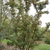 Photinia villora var. laevis