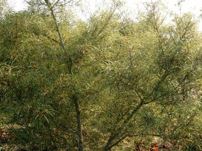 Frangula alnus 'Aspleniifolia'