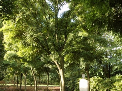 Gleditsia triacanthus 'Elegantissima'