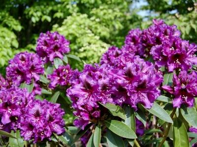 Rhododendron hybriden 'Purple Splendour'