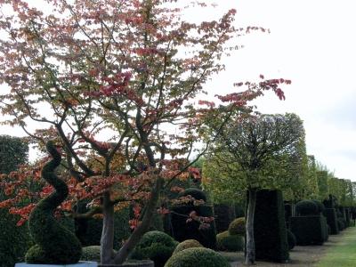 Parrotia persica meerstammige solitair